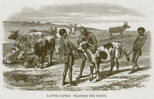 Kaffir Cattle. Training the Horns. Illustration for The Natural History of Man by JG Wood (George Routledge, 1868).