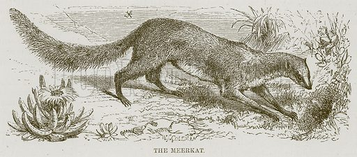 The Meerkat. Illustration for The Natural History of Man by JG Wood (George Routledge, 1868).