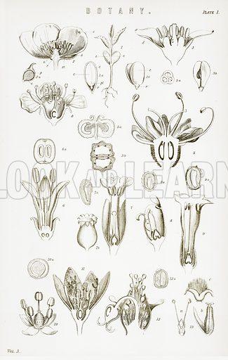 Botany. Illustration from The National Encyclopaedia (William Mackenzie, c 1900).