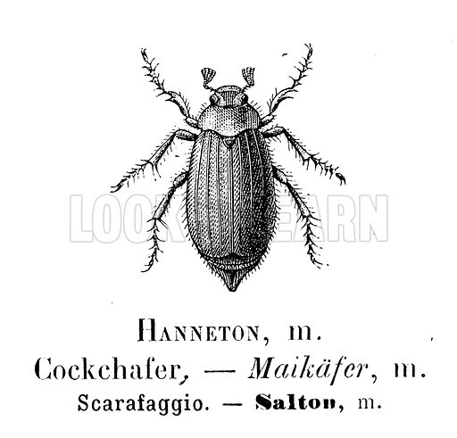 Cockchafer,  picture, image, illustration