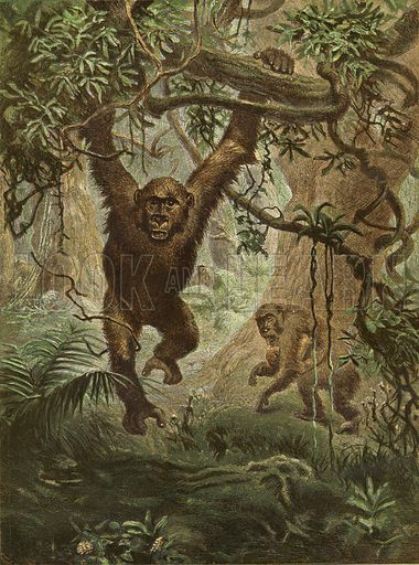 Gorillas at home