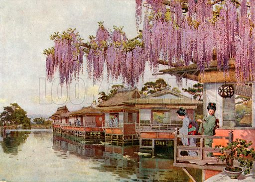 Wistaria, Nagaoka. Illustration for The Flowers and Gardens of Japan (A&C Black, 1908).