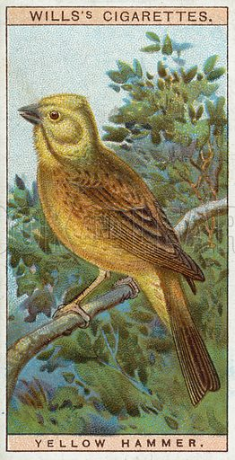 Yellow Hammer. Wills's cigarette card, early 20th century.