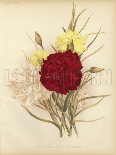 Three new tree carnations