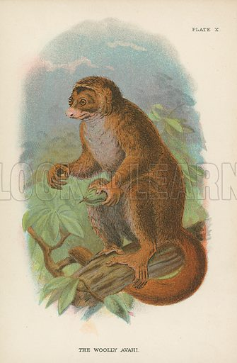 The Woolly Avahi. Illustration for A Handbook to the Primates by Henry Forbes (Edward Lloyd, 1896).