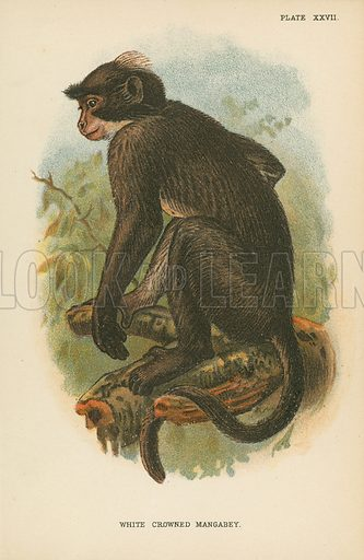 White Crowned Mangabey. Illustration for A Handbook to the Primates by Henry Forbes (Edward Lloyd, 1896). Note: Image requires slight retouching to remove residue of tissue paper.