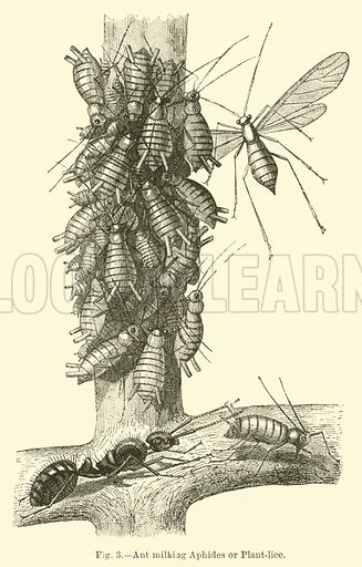 Ant milking Aphides or Plant-lice. Illustration for Science For All by Robert Brown (Cassell, c 1890).