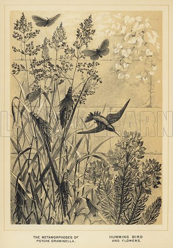 The Metamorphoses of Psyche graminella, Humming bird and flowers