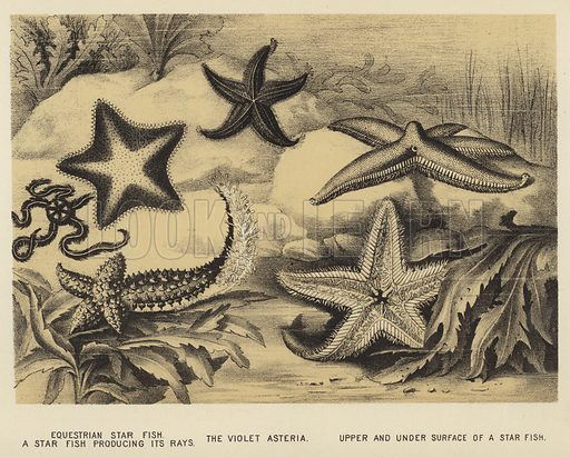 Equestrian Star fish, a Star fish producing its rays, the Violet Asteria, upper and under surface of a Star fish