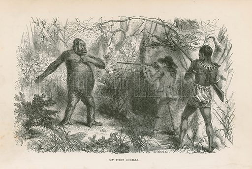 My first gorilla. Illustration for Explorations and Adventures in Equatorial Africa by Paul B du Chaillu (John Murray, 1861).
