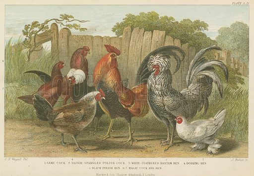 Cocks and hens. Illustration for A History of the Earth and Animated Nature by Oliver Goldsmith (Blackie, 1864).