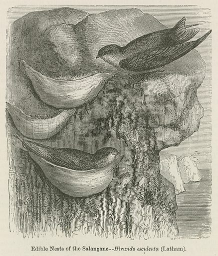Edible nests of the salangane (swallows). Illustration for A History of the Earth and Animated Nature by Oliver Goldsmith (Blackie, 1864).