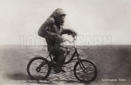 Chimpanzee Titine riding a bicycle at the zoo in Berlin