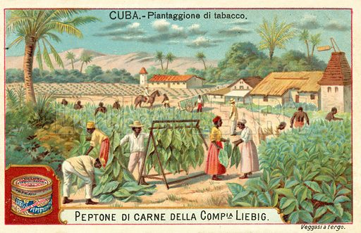 Tobacco plantation, Cuba. Liebig educational card.
