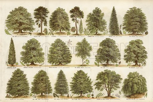Our British Forest Trees. Illustration for The Boy's Own Paper, 1885.