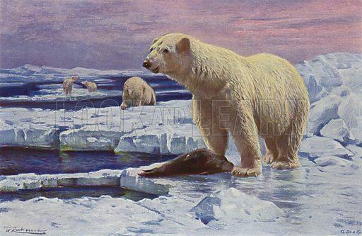 Polar Bear. Illustration for Wild Life of the World by R Lydekker (Frederick Warne, c 1910).