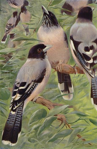 Lanceolated Jay. Illustration for Wild Life of the World by R Lydekker (Frederick Warne, c 1910).