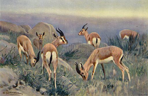 Gazelle. Illustration for Wild Life of the World by R Lydekker (Frederick Warne, c 1910).
