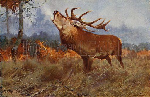 Red Deer. Illustration for Wild Life of the World by R Lydekker (Frederick Warne, c 1910).