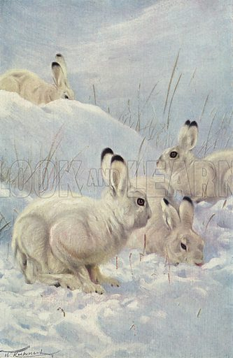 Mountain Hare. Illustration for Wild Life of the World by R Lydekker (Frederick Warne, c 1910).