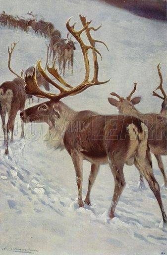 Scandinavian Reindeer. Illustration for Wild Life of the World by R Lydekker (Frederick Warne, c 1910).