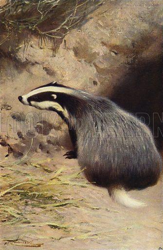 Badger. Illustration for Wild Life of the World by R Lydekker (Frederick Warne, c 1910).