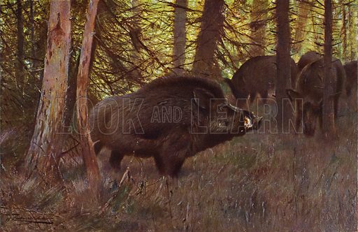 Wild Swine. Illustration for Wild Life of the World by R Lydekker (Frederick Warne, c 1910).