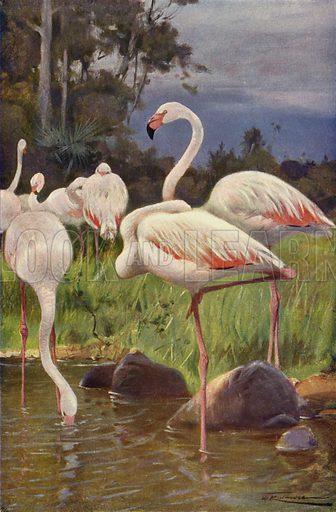 Flamingo. Illustration for Wild Life of the World by R Lydekker (Frederick Warne, c 1910).