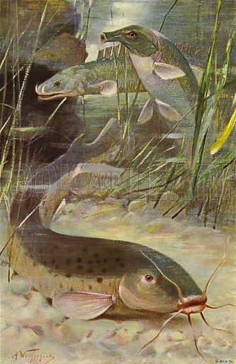 Electric Catfish, Bichir, Trunkfish. Illustration for Wild Life of the World by R Lydekker (Frederick Warne, c 1910).