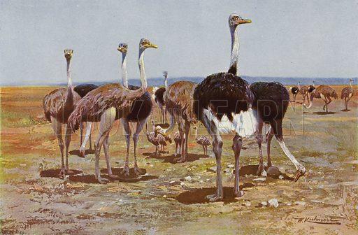 Somali Ostrich. Illustration for Wild Life of the World by R Lydekker (Frederick Warne, c 1910).