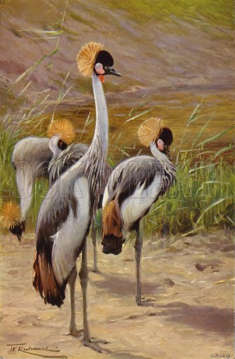 Crowned Crane. Illustration for Wild Life of the World by R Lydekker (Frederick Warne, c 1910).