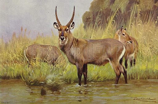 Waterbuck. Illustration for Wild Life of the World by R Lydekker (Frederick Warne, c 1910).