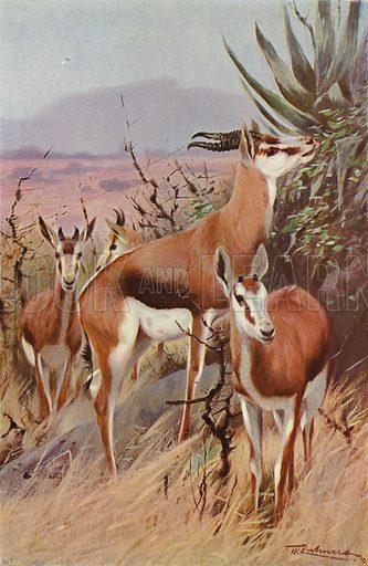 Springbok. Illustration for Wild Life of the World by R Lydekker (Frederick Warne, c 1910).