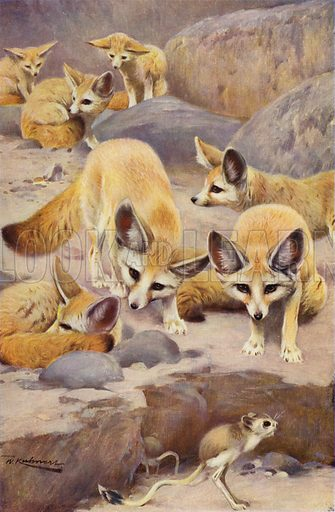 Fennec and Jerboa. Illustration for Wild Life of the World by R Lydekker (Frederick Warne, c 1910).