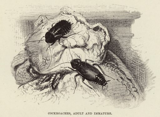 Cockroaches, Adult and Immature. Illustration for Wild Life of the World by R Lydekker (Frederick Warne, c 1910).
