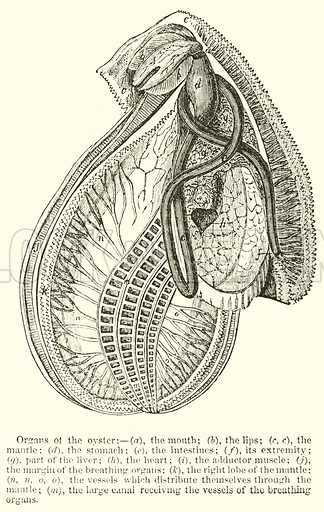 Organs of the Oyster
