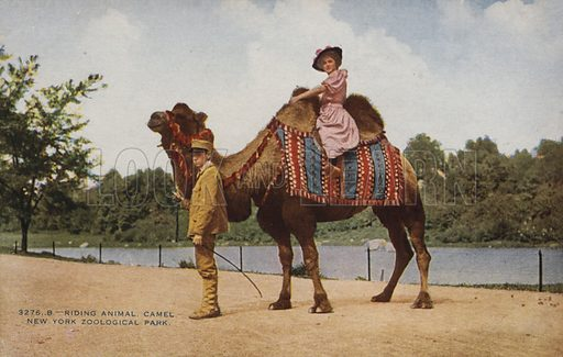 Riding camel, New York Zoological Park