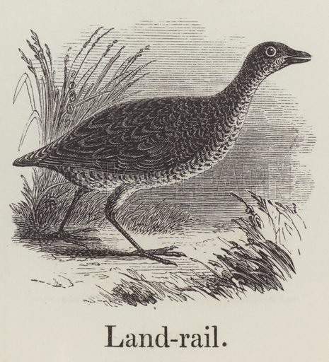 Landrail. Illustration for An Illustrated Vocabulary For The Use Of The Deaf And Dumb (SPCK, 1857).