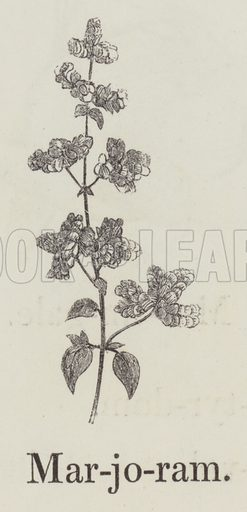 Marjoram. Illustration for An Illustrated Vocabulary For The Use Of The Deaf And Dumb (SPCK, 1857).