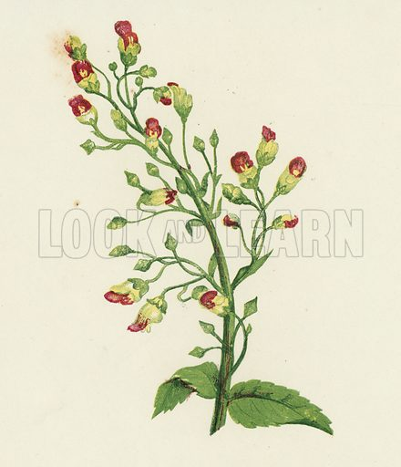 Knotted Fig-Wort, Scrophularia Nodosa. Illustration for Wild Flowers by Anne Pratt (SPCK, 1853).