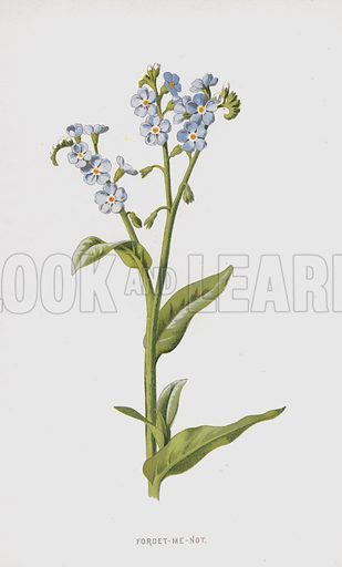 Forget-Me-Not. Illustration for Familiar Wild Flowers by F Edward Hulme (Cassell, c 1890).