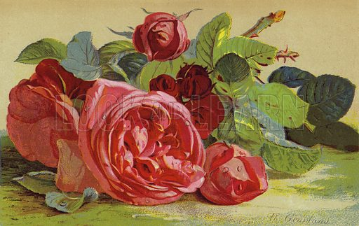 roses, picture, image, illustration