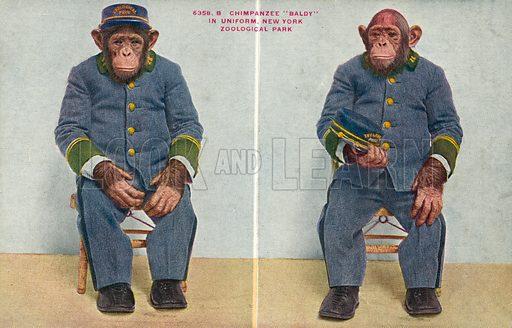 Chimpanzee Baldy in uniform, New York Zoological Park