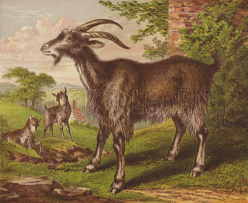 Goat. Illustration for The Child's Picture Book of Domestic Animals (George Routledge, c 1880).