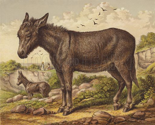 Donkey. Illustration for The Child's Picture Book of Domestic Animals (George Routledge, c 1880).