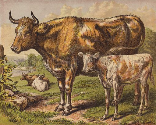 Cow and Calf. Illustration for The Child's Picture Book of Domestic Animals (George Routledge, c 1880).
