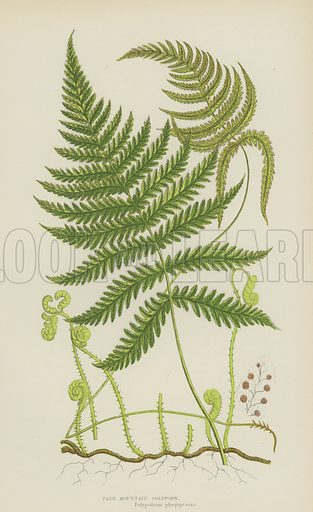 Pale Mountain Polypody. Illustration for The Flowering Plants, Grasses, Sedges and Ferns of Great Britain by Anne Pratt (new edn, Frederick Warne, 1905).