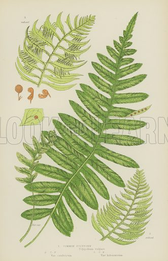Common Polypody. Illustration for The Flowering Plants, Grasses, Sedges and Ferns of Great Britain by Anne Pratt (new edn, Frederick Warne, 1905).
