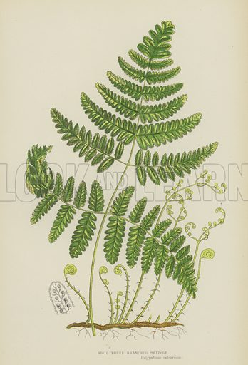 Rigid Three-Branched Polypody. Illustration for The Flowering Plants, Grasses, Sedges and Ferns of Great Britain by Anne Pratt (new edn, Frederick Warne, 1905).