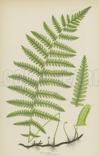 Marsh Fern. Illustration for The Flowering Plants, Grasses, Sedges and Ferns of Great Britain by Anne Pratt (new edn, Frederick Warne, 1905).